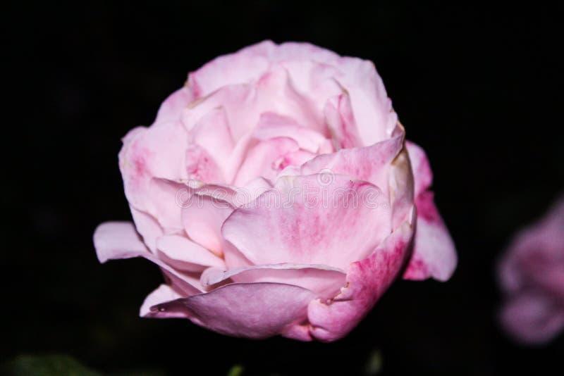 Αυξήθηκε ροζ στοκ φωτογραφία με δικαίωμα ελεύθερης χρήσης