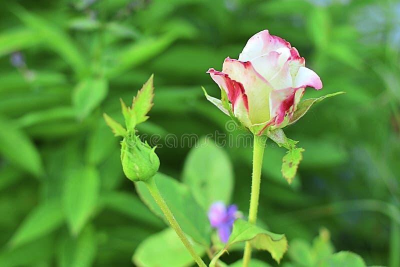 Αυξήθηκε στον κήπο σε ένα πράσινο υπόβαθρο λευκό με το κόκκινο όμορφο λουλούδι στοκ εικόνες με δικαίωμα ελεύθερης χρήσης