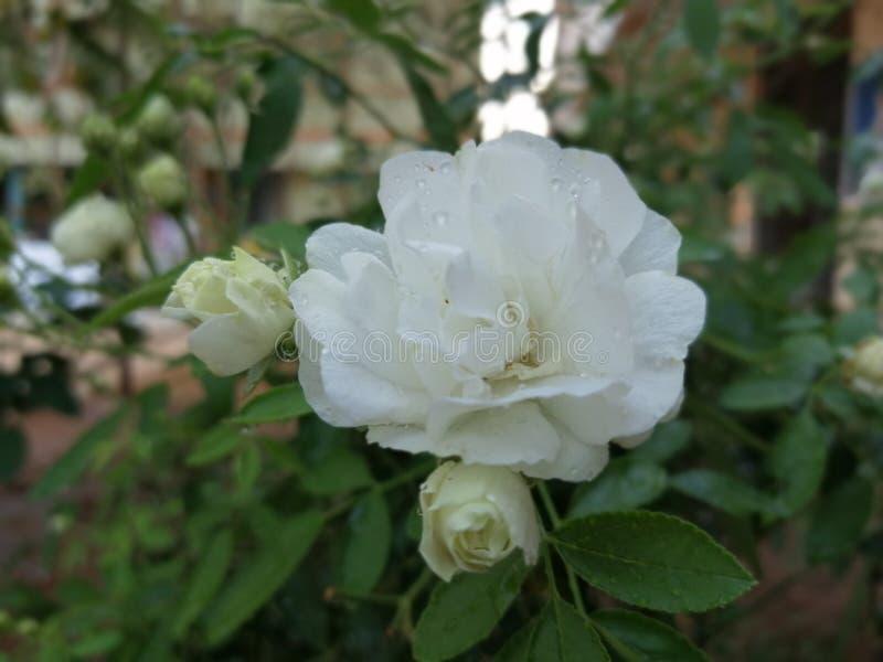 Αυξήθηκε στο σπίτι ngkl XYD κήπων μου στοκ εικόνες