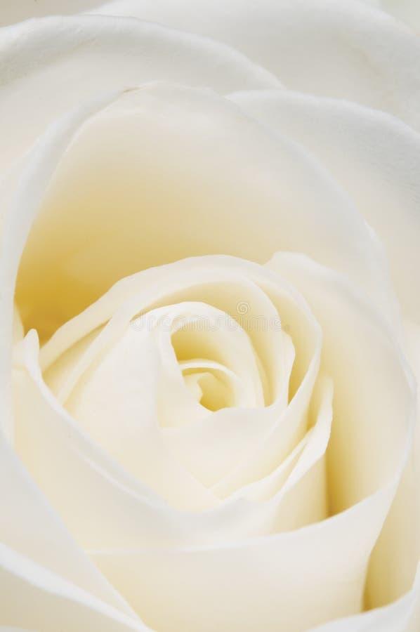 Αυξήθηκε τεμάχιο λουλουδιών στοκ εικόνες