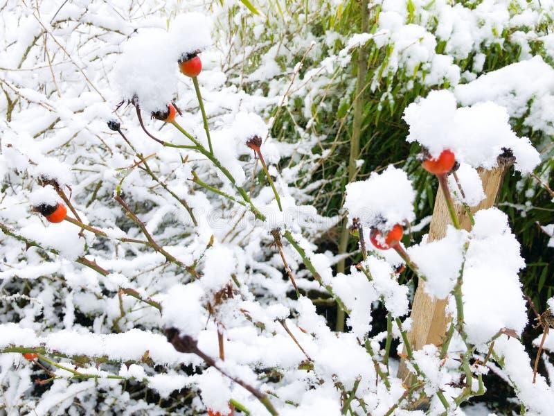 Αυξήθηκε χωρίς λουλούδια πετάλων που καλύφθηκαν κοντά με το εννοιολογικό ευγενές ρομαντικό υπόβαθρο χιονιού με το ρηχό βάθος του  στοκ εικόνες
