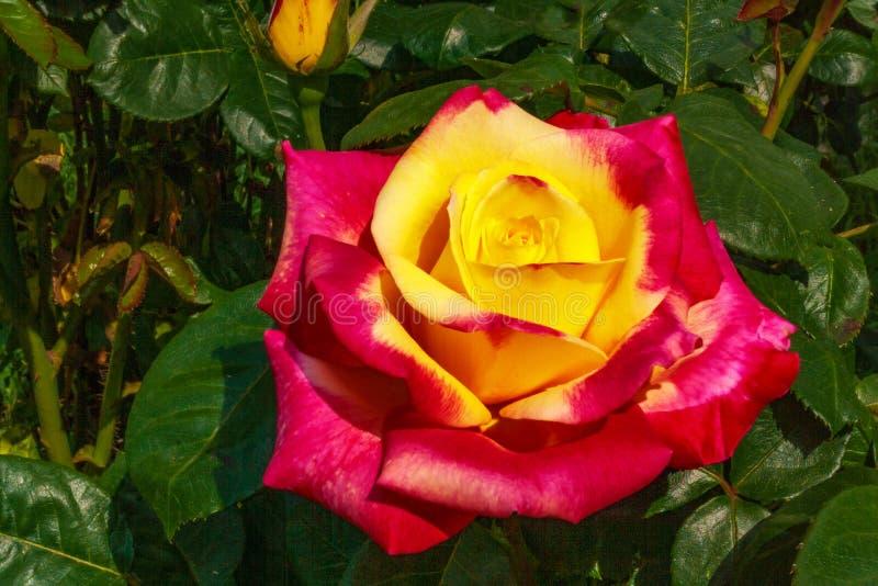 Αυξήθηκε όμορφο ασυνήθιστο λουλούδι που παρακαλεί στο μάτι έναν ευχάριστο συνδυασμό χρωμάτων στοκ φωτογραφία με δικαίωμα ελεύθερης χρήσης