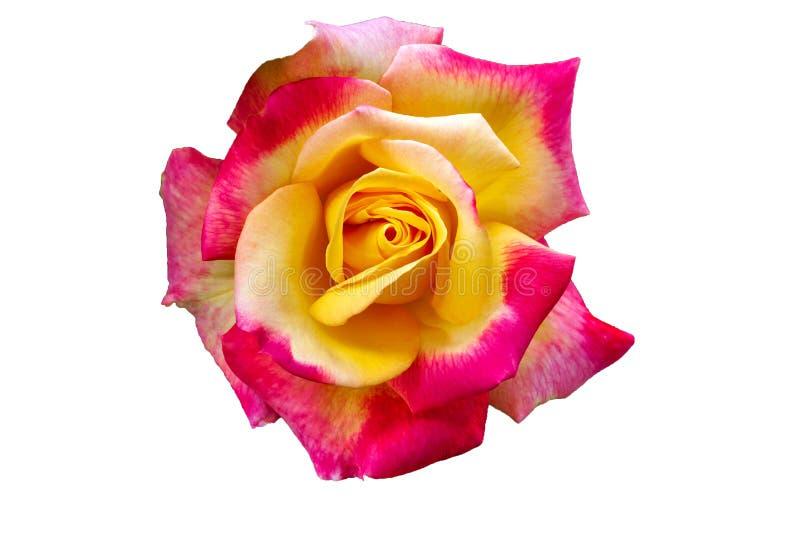 Αυξήθηκε όμορφο ασυνήθιστο λουλούδι που παρακαλεί στο μάτι έναν ευχάριστο συνδυασμό χρωμάτων Απομονώστε στοκ εικόνα με δικαίωμα ελεύθερης χρήσης