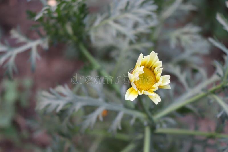 Αυξανόμενες κίτρινες εγκαταστάσεις μαργαριτών λουλουδιών στοκ φωτογραφία με δικαίωμα ελεύθερης χρήσης