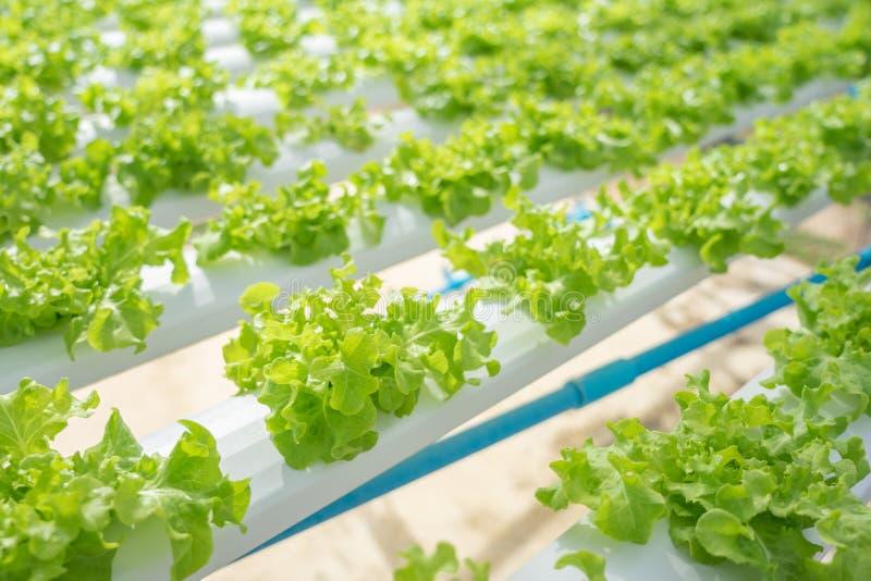Αυξανόμενος τα λαχανικά χωρίς τη χρησιμοποίηση του χώματος ή κλήση ενός άλλου τύπου υδροπονική φυτική ανάπτυξη η έννοια των οργαν στοκ εικόνες
