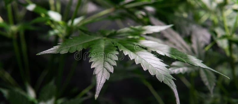 αυξανόμενος τη μαριχουάνα εσωτερική Αυξηθείτε τη σκηνή για την ανάπτυξη των καννάβεων στοκ φωτογραφία με δικαίωμα ελεύθερης χρήσης
