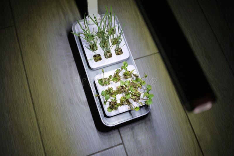 Αυξανόμενος τις εγκαταστάσεις στο σπίτι Ειδικά δοχεία για να αυξηθεί τα χορτάρια, εγκαταστάσεις, λουλούδια στο σπίτι Λεπτομέρειες στοκ φωτογραφία