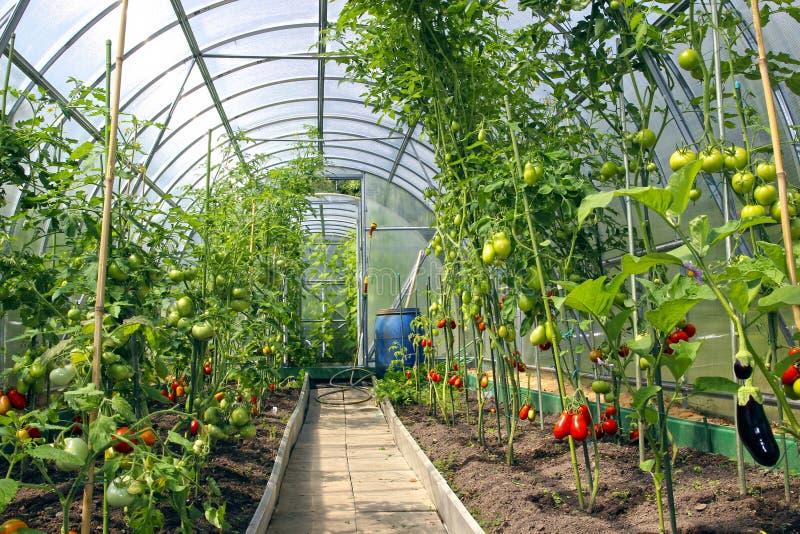 Αυξανόμενος τις ντομάτες στο θερμοκήπιο φιαγμένο από πολυάνθρακα στοκ φωτογραφίες