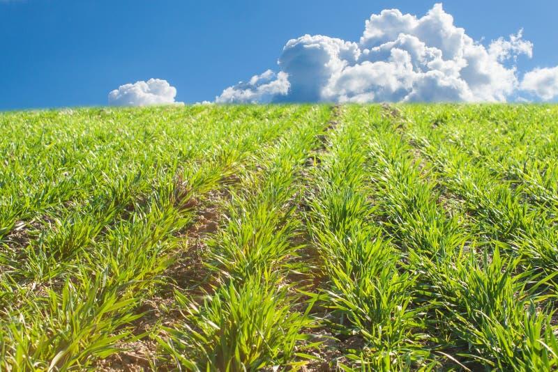 Αυξανόμενο σιτάρι Σπαρμένη συγκομιδή Ανάπτυξη σε έναν αγροτικό τομέα Πράσινοι βλαστοί των εγκαταστάσεων στοκ εικόνα με δικαίωμα ελεύθερης χρήσης