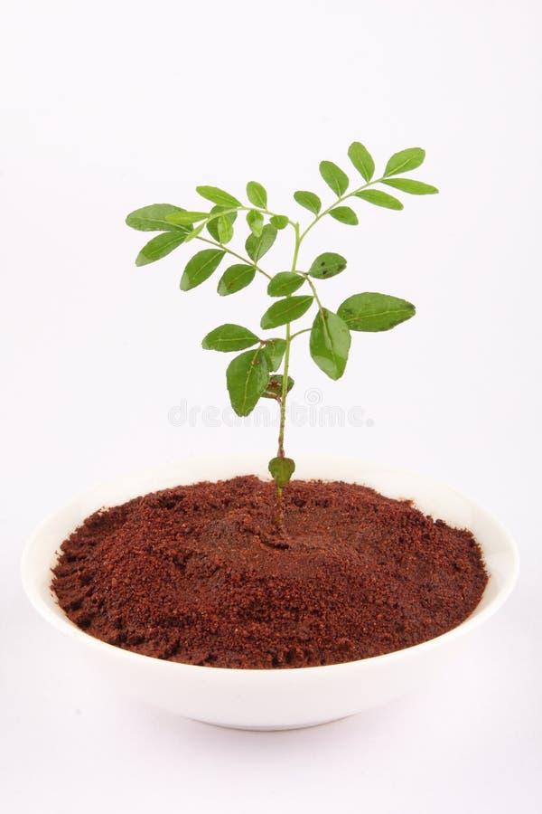 Αυξανόμενο φυτό φύλλων κάρρυ στοκ εικόνα