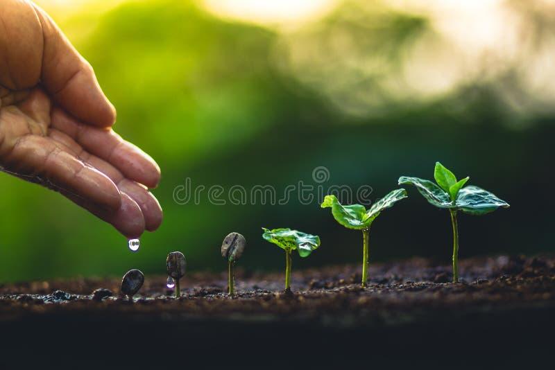 Αυξηθείτε την προσοχή χεριών δέντρων καφέ εγκαταστάσεων φασολιών καφέ και πότισμα των δέντρων που εξισώνουν το φως στη φύση στοκ εικόνες