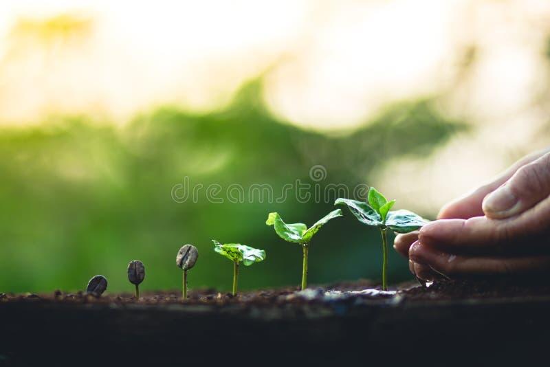 Αυξηθείτε την προσοχή χεριών δέντρων καφέ εγκαταστάσεων φασολιών καφέ και πότισμα των δέντρων που εξισώνουν το φως στη φύση στοκ εικόνες με δικαίωμα ελεύθερης χρήσης
