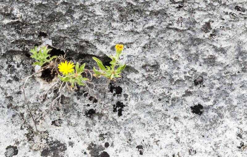 Αυξηθείτε όπου εσείς ` σχετικά με το φυτευμένο κίτρινο λουλούδι στο βράχο στοκ εικόνα με δικαίωμα ελεύθερης χρήσης
