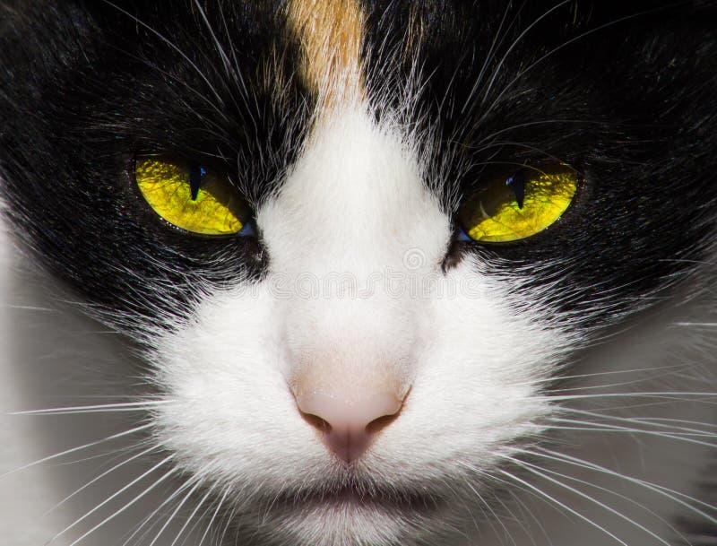 Αυστηρά, αρπακτικά κακά μάτια γατών στοκ φωτογραφίες