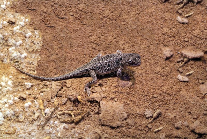 Αυστραλία, ζωολογία, μικροσκοπική σαύρα στοκ εικόνες με δικαίωμα ελεύθερης χρήσης