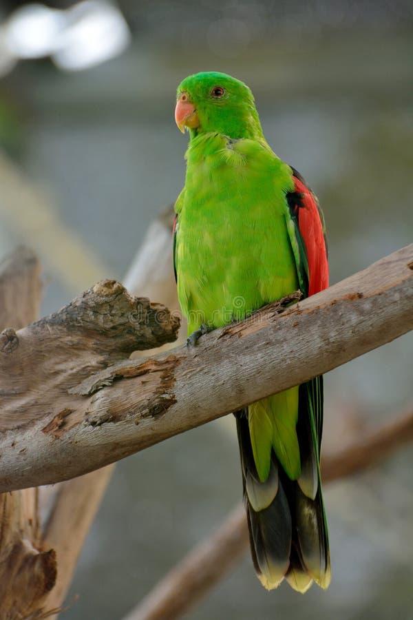 αυστραλιανά scapularis παπαγάλων &b στοκ φωτογραφίες