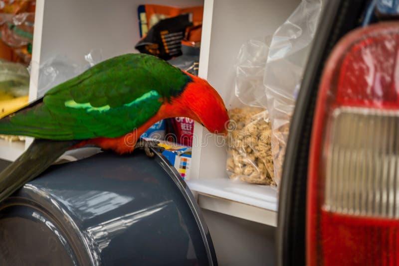 Αυστραλιανά scapularis Alisterus βασιλιάς-παπαγάλων που κλέβουν τα τρόφιμα από το πίσω μέρος ενός αυτοκινήτου στοκ φωτογραφία με δικαίωμα ελεύθερης χρήσης