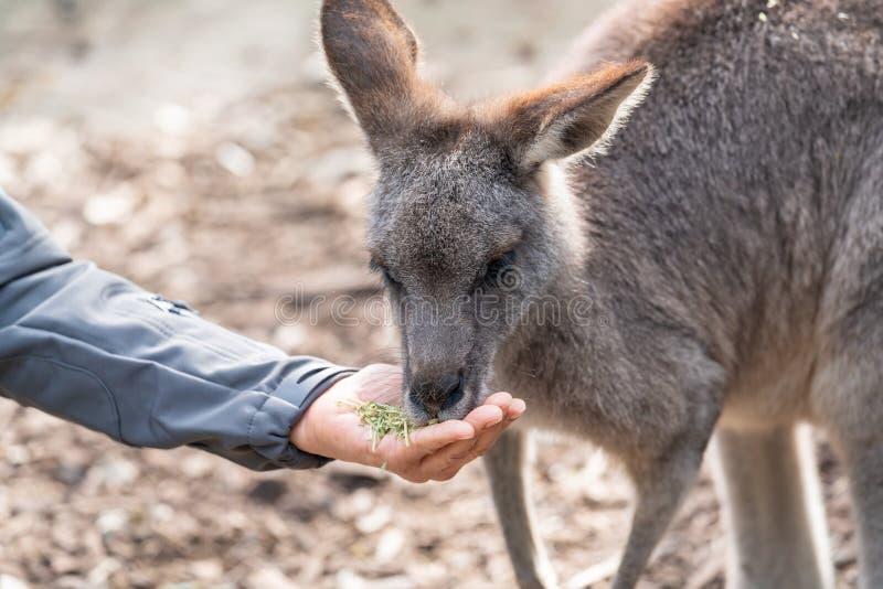 Αυστραλιανή άγρια φύση: Χέρι προσώπων που ταΐζει το άγριο καγκουρό, υπαίθρια από το χέρι Τα καγκουρό έχουν τα μεγάλα, ισχυρά οπίσ στοκ φωτογραφία