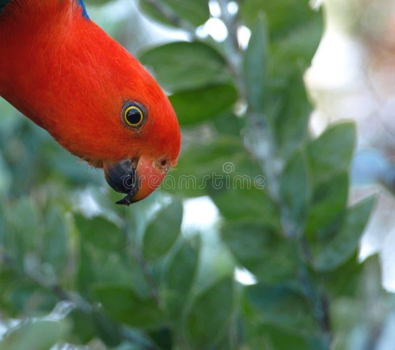 αυστραλιανή ασφάλεια παπαγάλων βασιλιάδων ελέγχου στοκ φωτογραφία με δικαίωμα ελεύθερης χρήσης