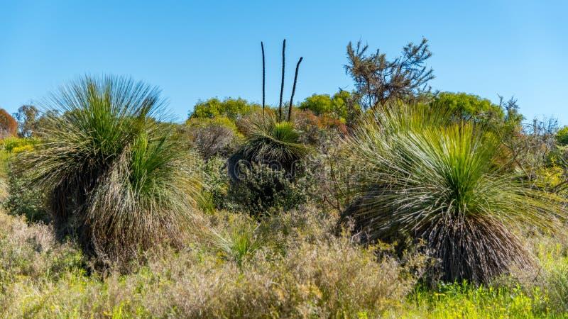 Αυστραλιανή ιθαγενής Grass Tree in the bush με χλωρίδα και πανίδα στοκ φωτογραφία