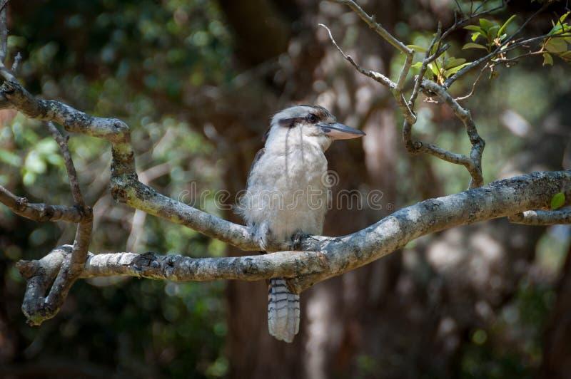 Αυστραλιανή συνεδρίαση kookaburra γέλιου σε έναν κλάδο στοκ εικόνες
