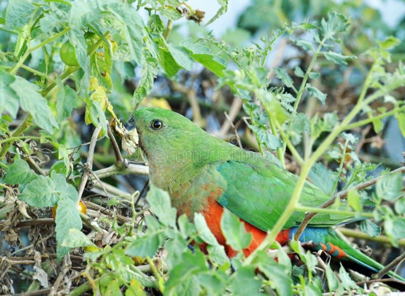 Αυστραλιανός θηλυκός παπαγάλος βασιλιάδων, Alisterus Scapularis, εγγενές πουλί στοκ εικόνες