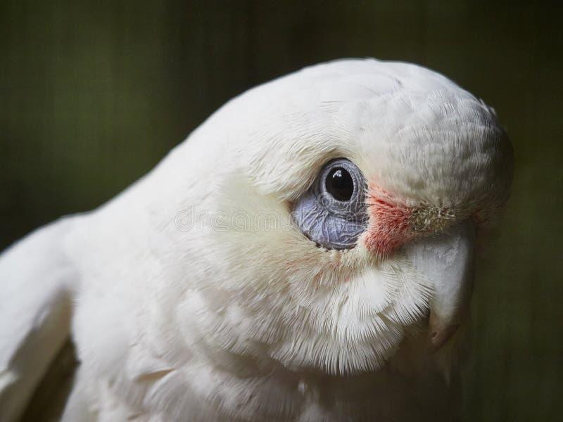 Αυστραλιανός παπαγάλος - κορέλα στοκ φωτογραφία με δικαίωμα ελεύθερης χρήσης