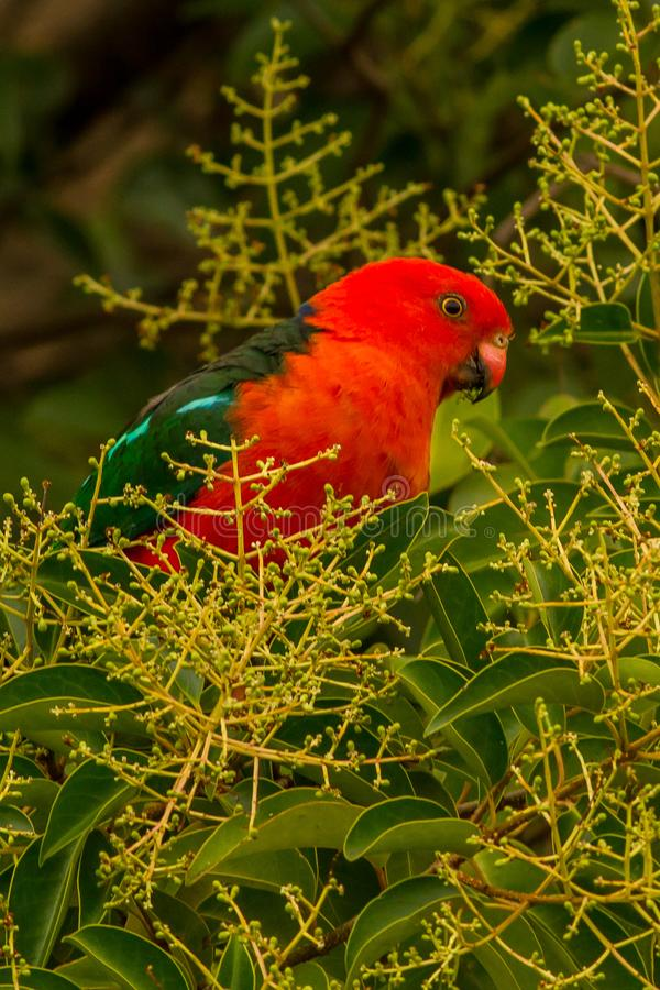 Αυστραλιανός παπαγάλος Alisterus Scapularis Καμπέρρα βασιλιάδων στοκ εικόνα με δικαίωμα ελεύθερης χρήσης
