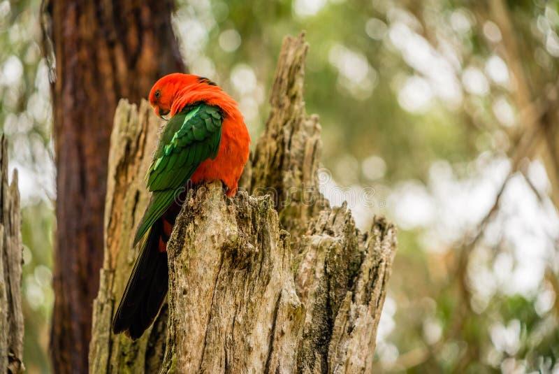 Αυστραλιανός παπαγάλος scapularis Alisterus βασιλιάς-παπαγάλων που καλλωπίζεται σε ένα δέντρο στοκ φωτογραφία με δικαίωμα ελεύθερης χρήσης