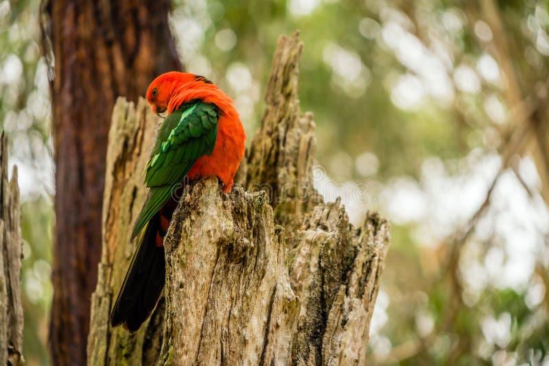 Αυστραλιανός παπαγάλος scapularis Alisterus βασιλιάς-παπαγάλων που καλλωπίζεται σε ένα δέντρο στοκ φωτογραφία