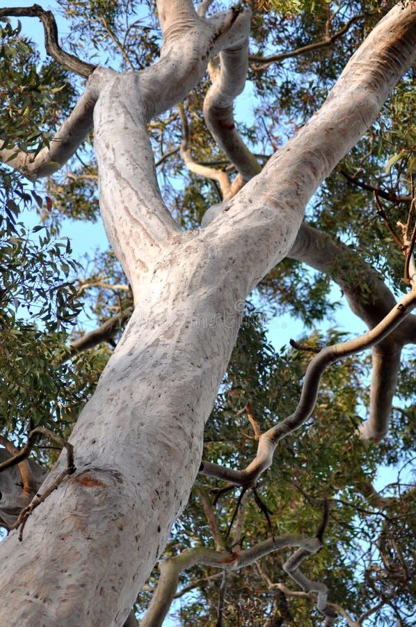 αυστραλιανό δέντρο γόμμας στοκ φωτογραφία