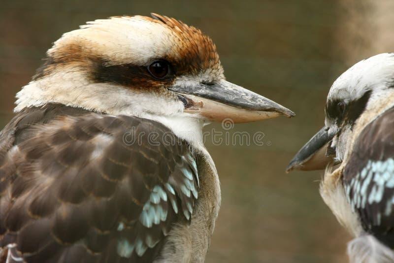 αυστραλιανό ζευγάρι kookaburra στοκ φωτογραφίες