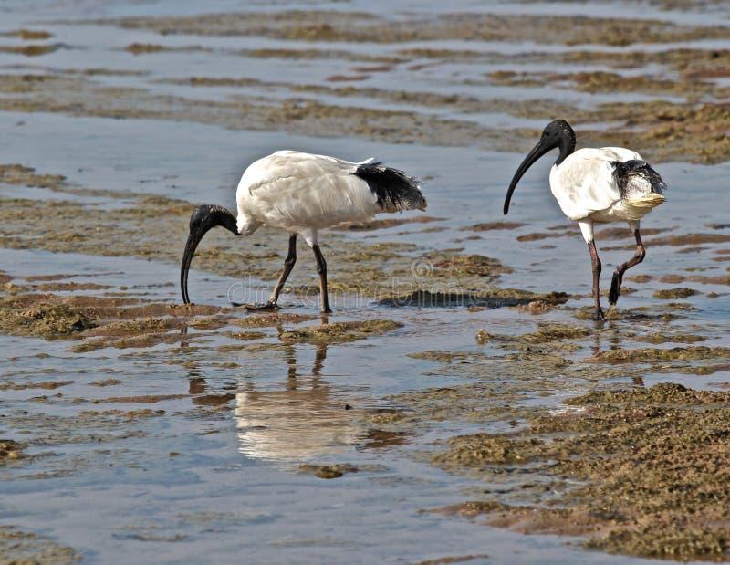 Download αυστραλιανό λευκό οδο&ka στοκ εικόνες. εικόνα από παλίρροια - 22796844