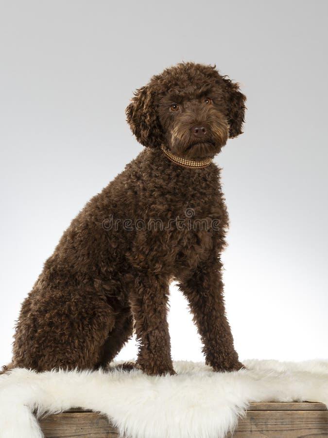 Αυστραλιανό πορτρέτο σκυλιών κουταβιών labradoodle στοκ φωτογραφίες