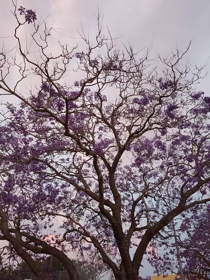 Αυστραλιανό πορφυρό δέντρο Jacaranda στο ηλιοβασίλεμα στοκ φωτογραφίες