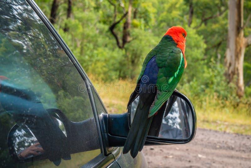 Αυστραλιανό πουλί παπαγάλων scapularis Alisterus βασιλιάς-παπαγάλων που στέκεται στον καθρέφτη ενός αυτοκινήτου στοκ εικόνες με δικαίωμα ελεύθερης χρήσης