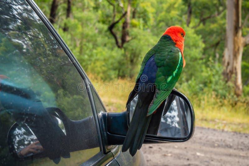 Αυστραλιανό πουλί παπαγάλων scapularis Alisterus βασιλιάς-παπαγάλων που στέκεται στον καθρέφτη ενός αυτοκινήτου στοκ εικόνες