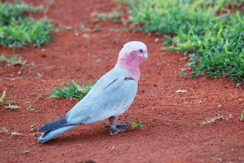 αυστραλιανό ροζ εικόνων gal στοκ φωτογραφίες