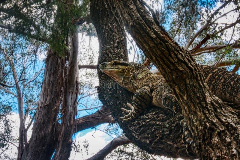 Αυστραλιανό όργανο ελέγχου δαντελλών ή varius Varanus goanna δαντελλών, που αναρριχείται σε ένα δέντρο, τροπικό δάσος Αυστραλία τ στοκ εικόνα
