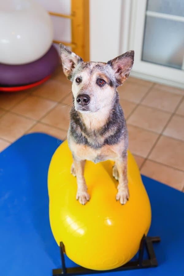 Αυστραλιανό Cattledog κάθεται σε μια συσκευή καταρτίσεων σε ένα ζωικό γραφείο φυσιοθεραπείας στοκ φωτογραφία