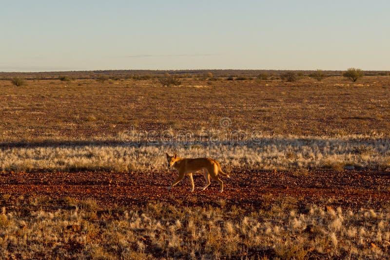 Αυστραλιανό dingo που ψάχνει ένα θήραμα στη μέση του εσωτερικού στην κεντρική Αυστραλία Το dingo κοιτάζει προς το αριστερό, στοκ εικόνες