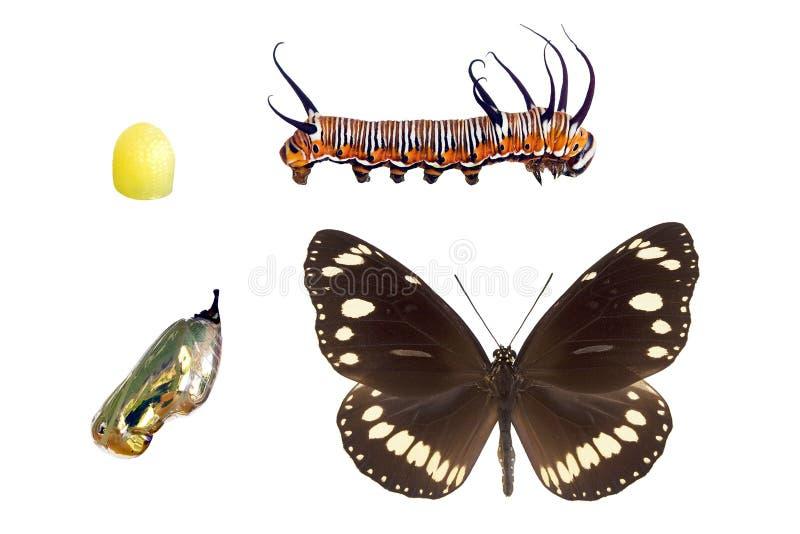 αυστραλιανό euploea κοράκων πυ& διανυσματική απεικόνιση
