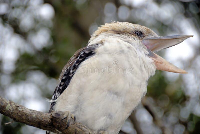αυστραλιανό kookaburra στοκ φωτογραφία
