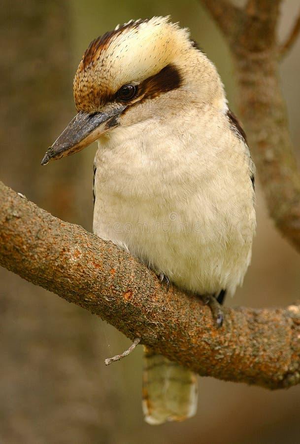 αυστραλιανό kookaburra στοκ φωτογραφία με δικαίωμα ελεύθερης χρήσης