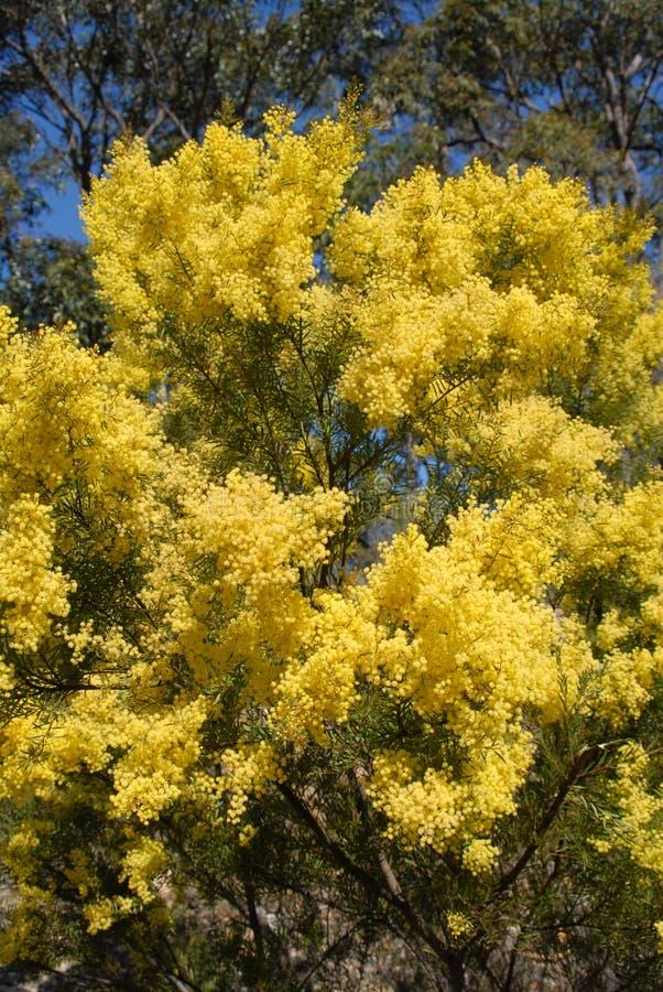 αυστραλιανό wattle άνοιξη άνθισης ανθίζοντας κίτρινο στοκ φωτογραφία