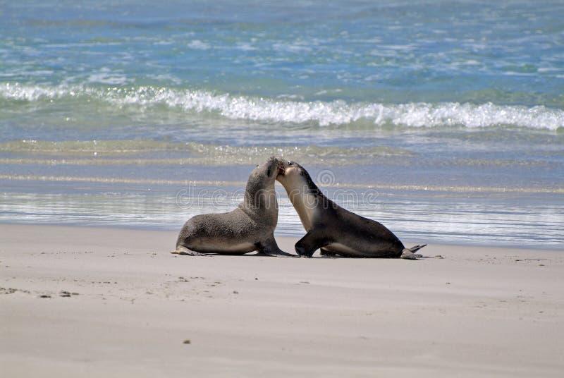 Αυστραλία, SA, νησί καγκουρό στοκ φωτογραφία