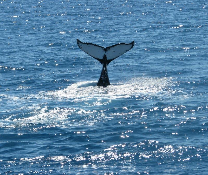 Αυστραλιανές φάλαινες Humpback στοκ εικόνα