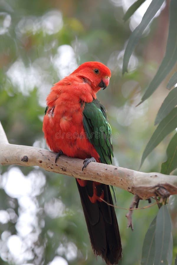 Αυστραλιανός παπαγάλος βασιλιάδων (scapularis Alisterus) στοκ εικόνες με δικαίωμα ελεύθερης χρήσης