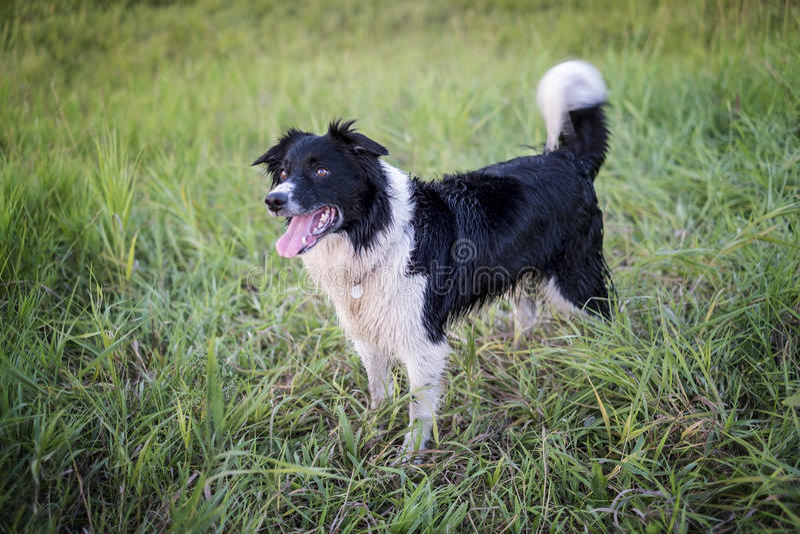αυστραλιανός ποιμένας σκυλιών στοκ φωτογραφίες με δικαίωμα ελεύθερης χρήσης