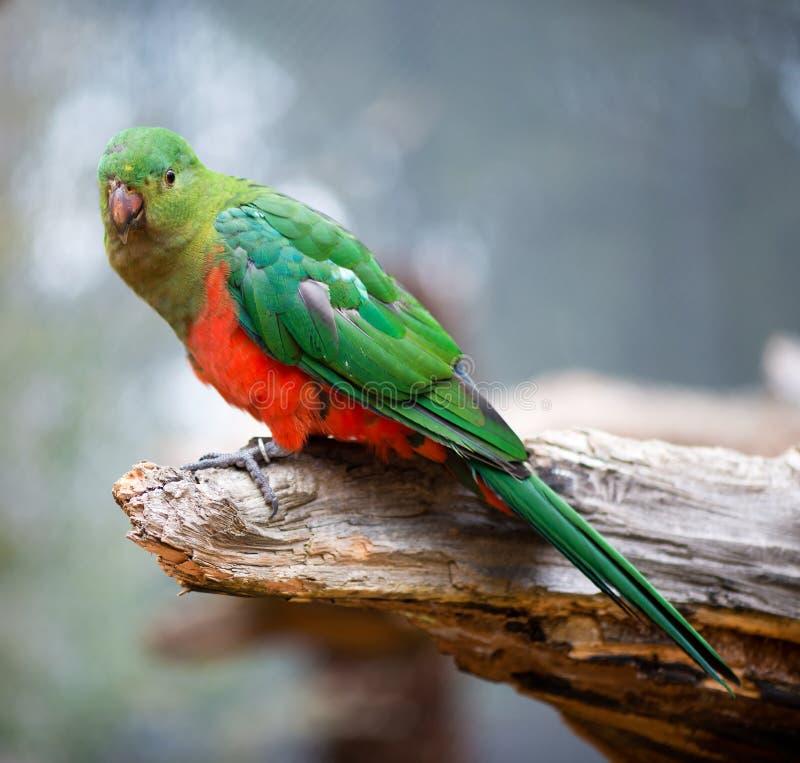 Αυστραλιανό θηλυκό παπαγάλων βασιλιάδων στοκ φωτογραφία